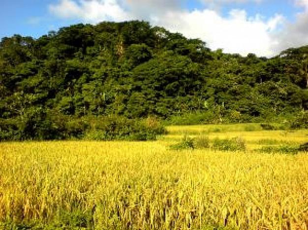 campo-de-arroz_21001713