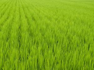 campos-de-arroz_21328232