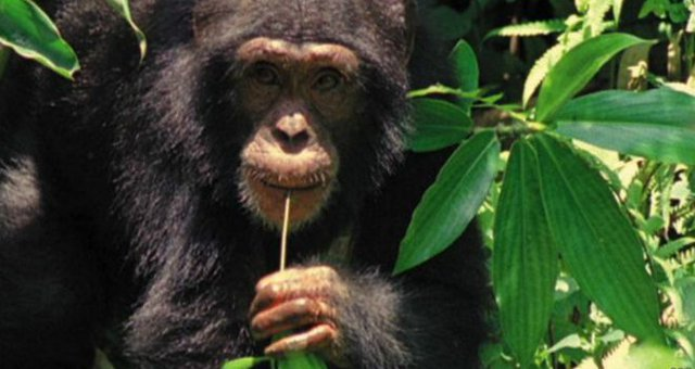 chimpanze-cozinhar.jpg.640x340_q85_crop