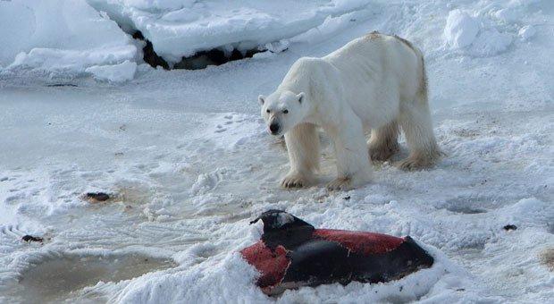 urso-polar.jpg.640x340_q85_crop