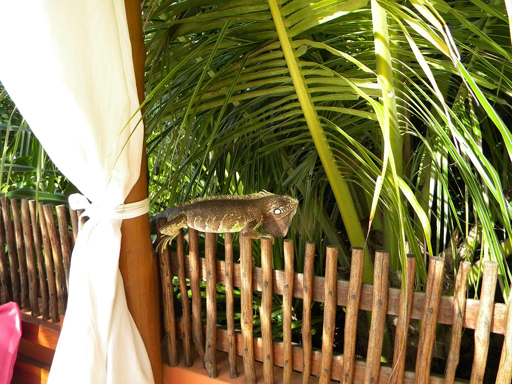 Iguanas caminham livremente pela pousada Sagi-Iti.