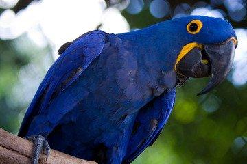 arara azul3