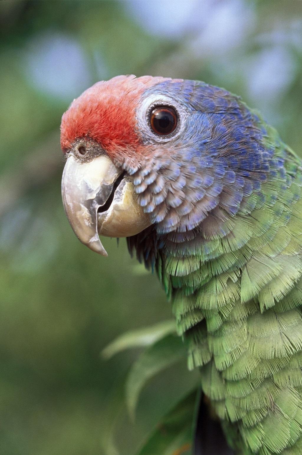 PAPAGAIO-DE-CARA-ROXA Amazona brasiliensis