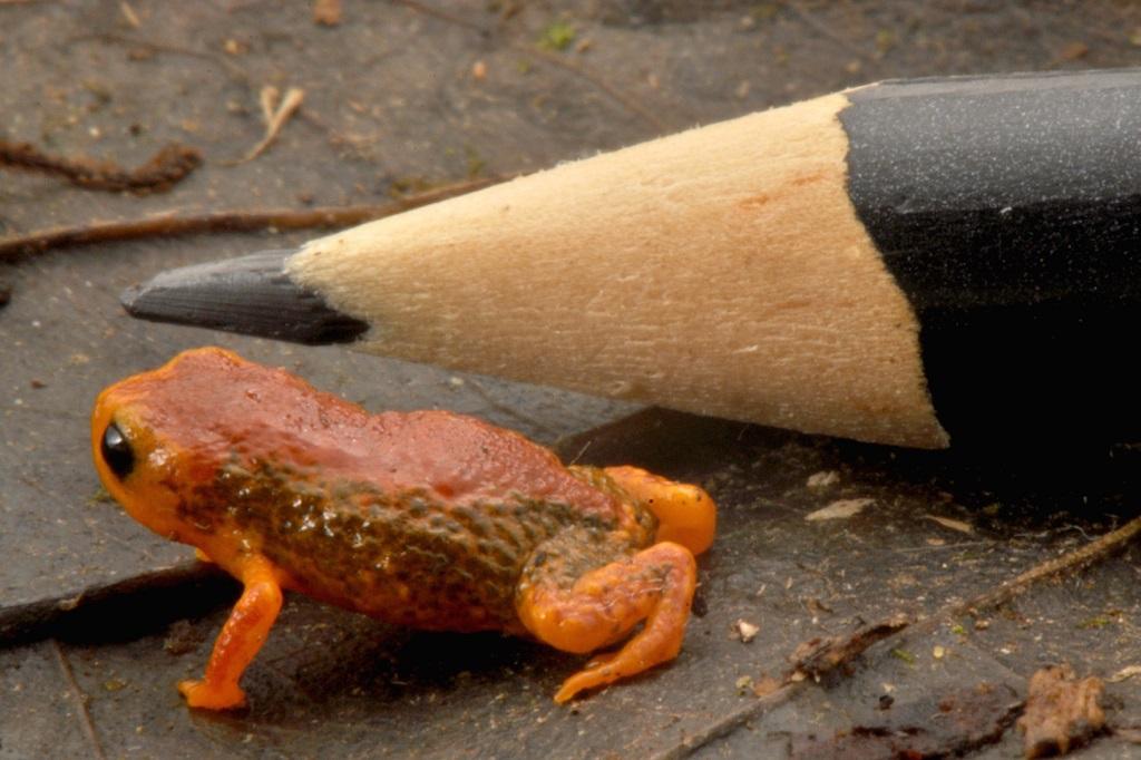 A espécie Brachycephalus coloratus foi encontrada na cidade de Piraquara. Foto Luiz Fernando Ribeiro