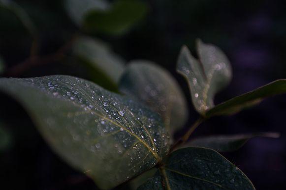 Alto Paraíso, GO, Brasil: Detalhe do orvalho em folhas ao amanhecer no Parque Nacional da Chapada dos Veadeiros. (Foto: Marcelo Camargo/Agência Brasil)