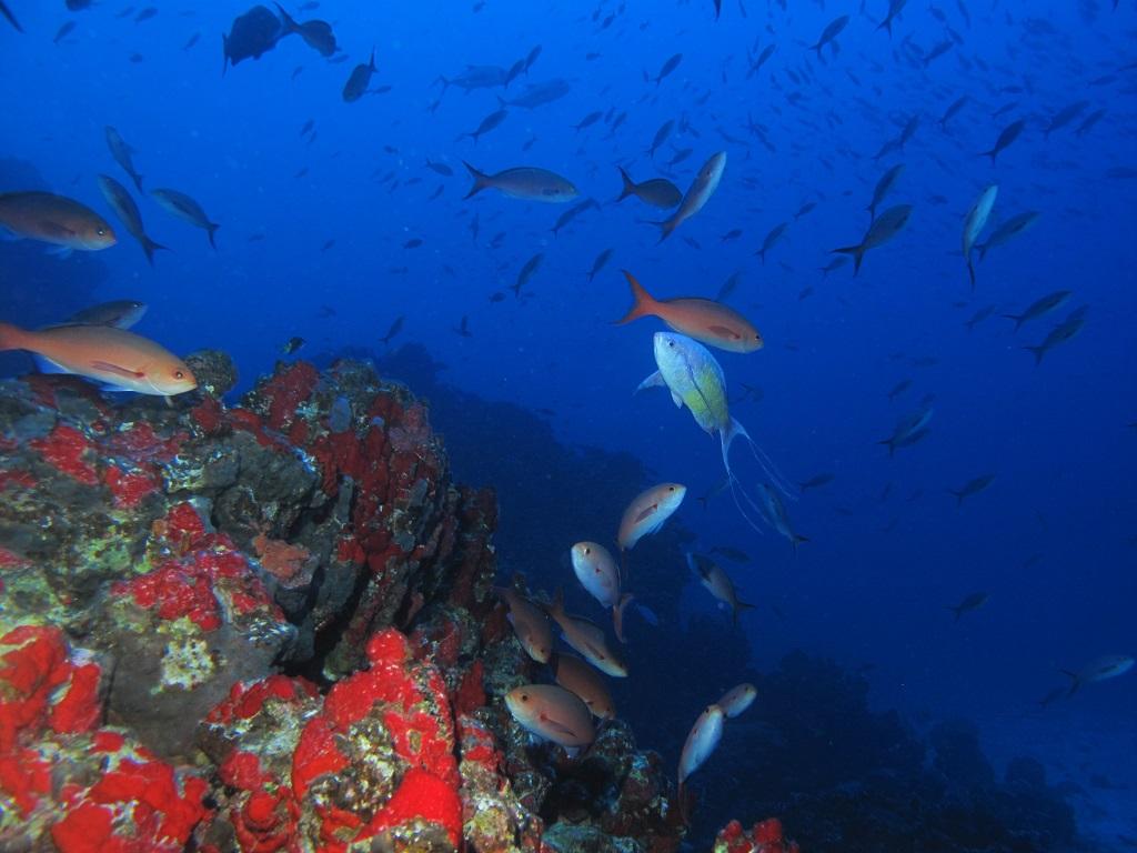 Ambiente submarino do monte Vitória, um dos locais estudados pelo time de cientistas brasileiros que desenvolveu a nova teoria de biogeografia marinha. Hudson T. Pinheiro