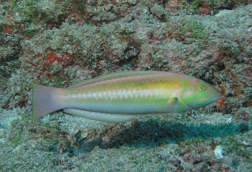 Sabonete de Trindade - Halichoeres rubrovirens - Peixe sabonete de Trindade, uma das espécies que é somente encontrada na Cadeia Vitória-Trindade Hudson T. Pinheiro
