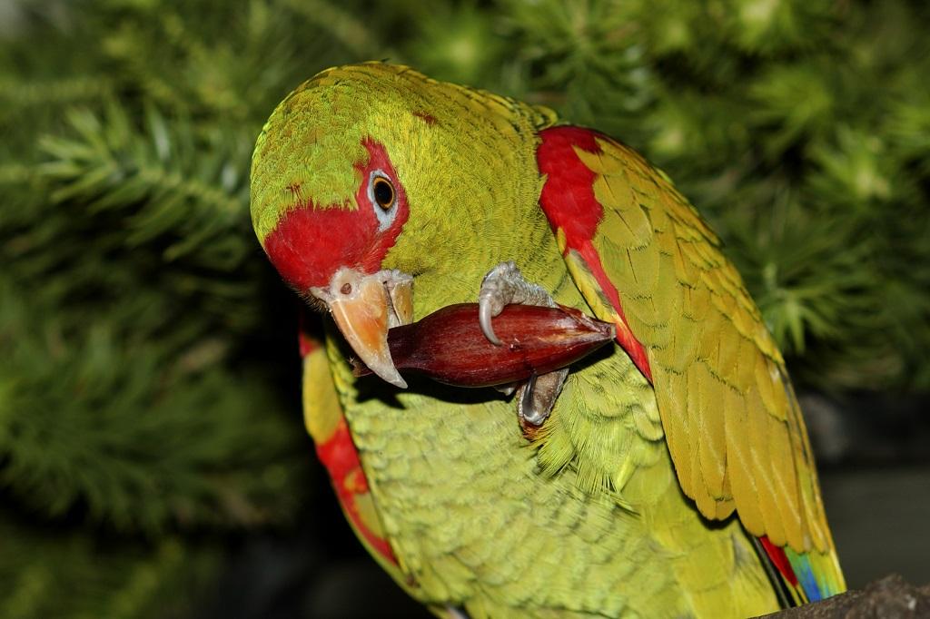 Papagaio-charão_foto Haroldo Palo Júnior