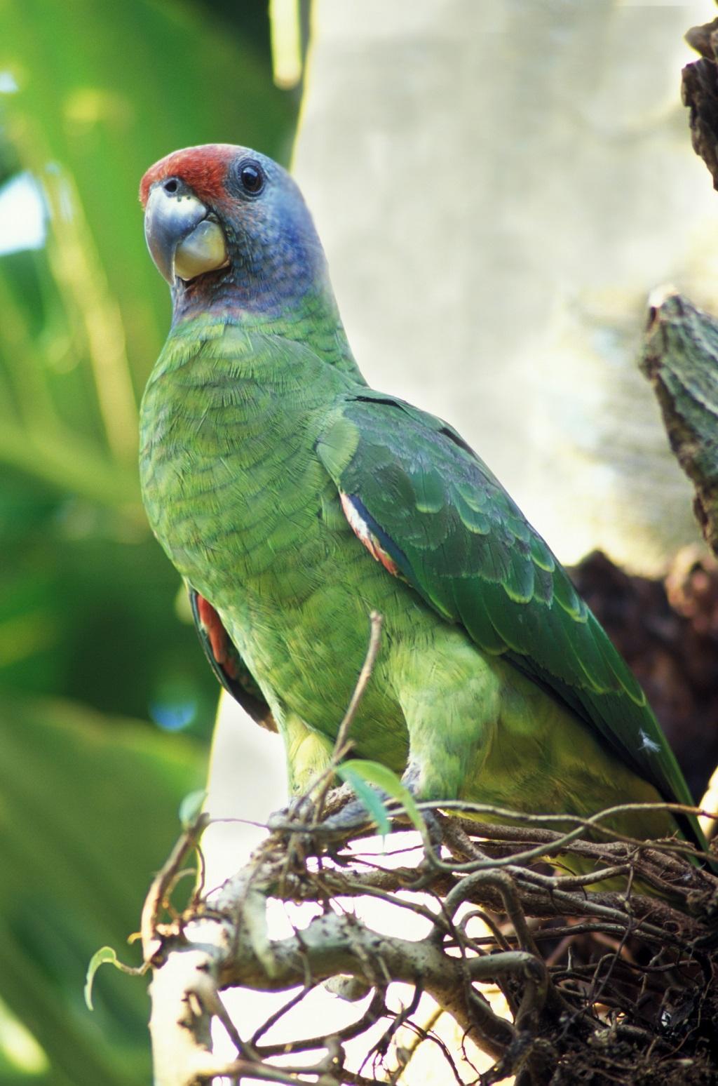 Papagaio-de-cara-roxa_ foto Zig Koch