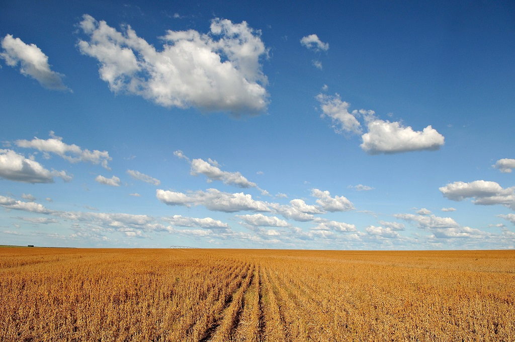 Dry soy (Glycine max) plantation landscape and a blue sky with white clouds, in the region of Barreiras, state of Bahia, Brazil.
