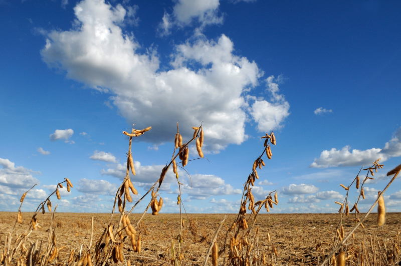 Dry soy (Glycine max) pods in the foreground, over a dry landscape and a blue sky with white clouds, in the region of Barreiras, state of Bahia, Brazil.