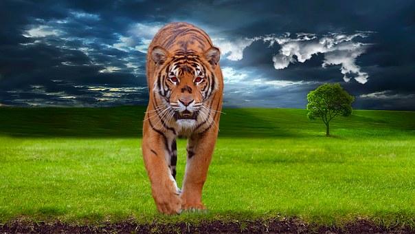 tiger-1100914__340