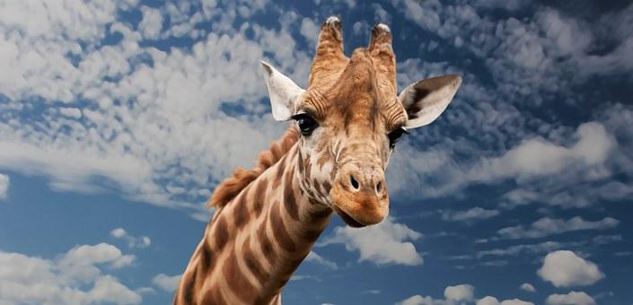 giraffe-614141__340