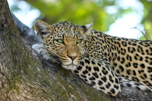 leopard-515509__340