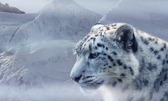 snow-leopard-2470440__340